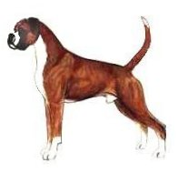 Typical Boxer Male - Uncropped and undocked drawing of a Boxeradapted from JKC Illustrated Breed Standards