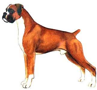 The Boxer a drawing by Judy Horton