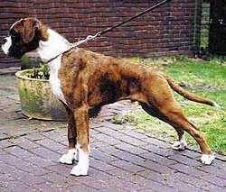 Kroppers Joe of Magna Carta at 5 months of age - Europe