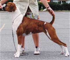 Mismarked or Parti Coloured Boxer