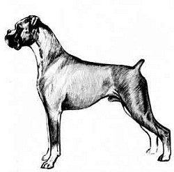 Line drawing from the book Boxer Blarney, by Marion Fairbrother