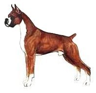 Typical Boxer Male - cropped drawing adapted drawing of a Boxer from JKC Illustrated Breed Standards